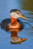British Columbia, Red-necked Grebe bird in lake Fine Art Print