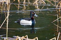 British Columbia, Ring-necked Duck in marsh Fine Art Print