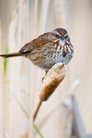 British Columbia, Song Sparrow bird on cattail Framed Print