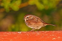 British Columbia, Song Sparrow bird, bridge raining Fine Art Print