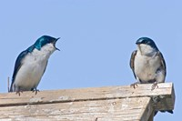British Columbia, Tree Swallows perched on bird house Fine Art Print