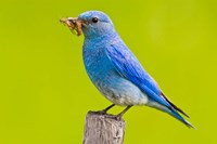 Mountain Bluebird with caterpillars near Kamloops, British Columbia, Canada Fine Art Print