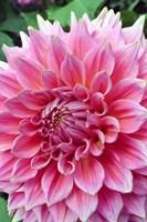 Dahlia flower, Butchart Gardens, British Columbia Fine Art Print
