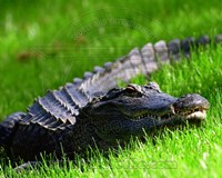 Alligator - laying in the grass Fine Art Print