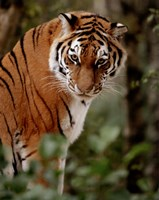 Tiger - photo Fine Art Print