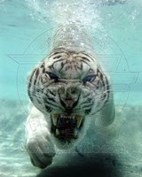 White Bengal Tiger Fine Art Print