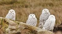 Flock of Snowy Owl, Boundary Bay, British Columbia, Canada Fine Art Print