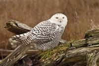 Canada, British Columbia, Boundary Bay, Snowy Owl Fine Art Print