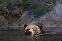 Canada, British Columbia Grizzly bear swimming Fine Art Print