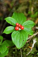 Temperate Rainforest Berries, Bramham, British Columbia Fine Art Print