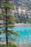 Pine tree, Moraine Lake, Banff National Park, Canada Fine Art Print
