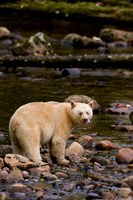 British Columbia, Princess Royal Island, Spirit Bear Fine Art Print