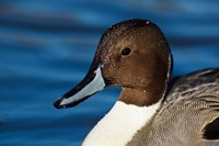 British Columbia, Westham Island, Pintail Duck Fine Art Print