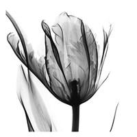 High Contrast Tulip Fine Art Print