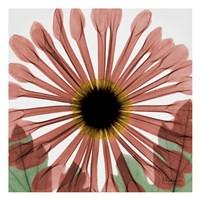Chrysanthemum Marsala Framed Print