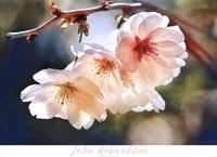 Cherry Blossom 1 Fine Art Print