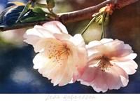 Cherry Blossom 2 Fine Art Print