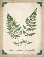 Vintage Ferns VII Framed Print