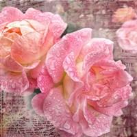 Fresh Rose III Framed Print