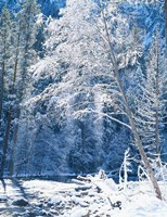 Snow covered trees along Merced River, Yosemite Valley, Yosemite National Park, California Fine Art Print