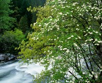 Flowering dogwood tree along the Merced River, Yosemite National Park, California Fine Art Print
