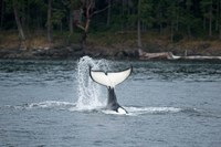 Canada, Vancouver Island, Sydney Killer whale slaps its tail Fine Art Print