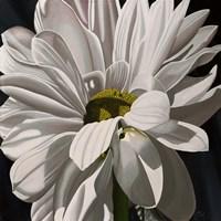 Black Tie Daisy Fine Art Print
