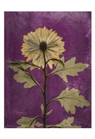 Chrysanthemum Purple II Fine Art Print