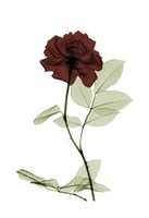 Ox Blood Rose 1 Fine Art Print