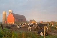Holstein dairy cows outside a barn, Boyd, Wisconsin Framed Print