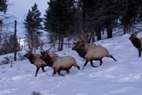 Elk or Wapiti, Yellowstone National Park, Wyoming Fine Art Print