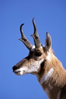 Wyoming, Yellowstone NP, Male Pronghorn Wildlife Fine Art Print