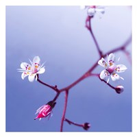 Cherry Flower 3 Fine Art Print