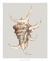 Spider Conch Framed Print