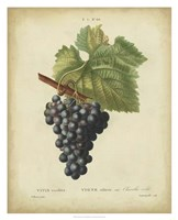 Antique Bessa Grapes I Framed Print