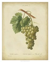 Antique Bessa Grapes II Fine Art Print