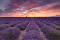 Sunrise over Lavender Fine Art Print