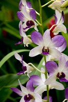 Flowers in National Orchid Garden, Singapore Fine Art Print