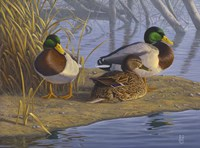 Evening Rest - Mallards Fine Art Print