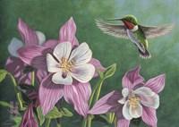 Hummingbird Pink - Columbine Fine Art Print