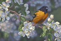 Oriole and Apple Blossoms Fine Art Print