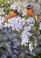 Orioles in the Orchard Fine Art Print