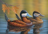 Stiff Tails Ruddy Ducks Fine Art Print