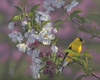 Gold Pink White Goldfinch Fine Art Print