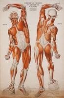 American Frohse Anatomical Wallcharts, Plate 2 Fine Art Print