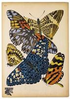 Butterflies Plate 11 Fine Art Print