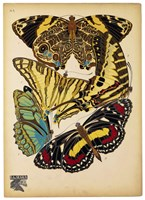 Butterflies Plate 13 Framed Print