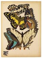 Butterflies Plate 14 Fine Art Print