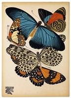 Butterflies Plate 2 Fine Art Print
