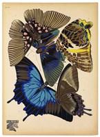 Butterflies Plate 9 Framed Print